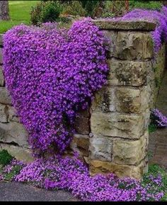 Cheap purple flowers seeds, Buy Quality perennial ground cover directly from China rock cress Suppliers: Cress,Aubrieta Cascade Purple FLOWER SEEDS, Deer Resistant Superb perennial ground cover,flower seeds for home garden Purple Flowers, Beautiful Flowers, Purple Hearts, Beautiful Gorgeous, Exotic Flowers, Yellow Roses, Pink Roses, Cascading Flowers, Colorful Roses