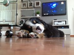 Bernese Mountain, Mountain Dogs, Dogs Of The World, Goal, Cute Animals, Pets, Friends, Funny, Diy Dog