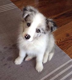Awwww....precious! Border Collie Welpen, Perros Border Collie, Border Collie Blue Merle, Border Collie Puppies, Collie Dog, Border Collies, Border Collie Names, Baby Dogs, Pet Dogs