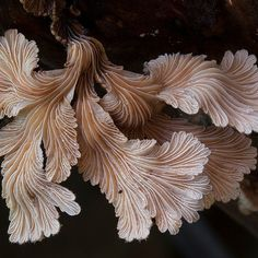 Schizophyllum commune is a very common species of fungus. Some consider this species inedible not because of any toxicity reasons however but due to it's rough texture. It is consumed in Mexico however and other parts of the tropics. They grow in both deciduous and coniferous forests on dead wood. Photographed by Steve Axford.