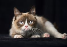 Grumpy Cat is not camera-shy! (Robert Deutsch, USA TODAY) August 13, 2014 - Aug 2014 #GrumpyCat #Tard #TardarSauce / Pinned to the Grumpy Cat board here, http://www.pinterest.com/fairbanksgrafix/tard-the-grumpy-cat/