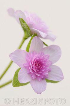 Hepatica japonica 'Orihime'