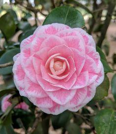 "Camellia japonica ""Tom Thumb"""