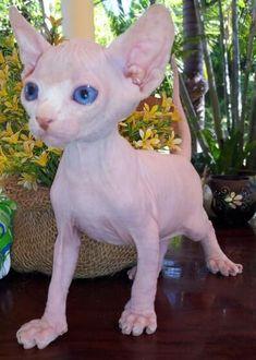Sphynx cat <3 #SphynxCat