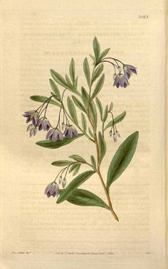 10552 Billardiera heterophylla (Lindl.) L.W.Cayzer & Crisp [as Sollya heterophylla Lindl.]  / Curtis's Botanical Magazine, vol. 63 [ser. 2, vol. 10]: t. 3523 (1836) [Adams]