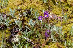 This little purple flower is another local oddity with a bizarre name.  Naked or One-flowered Broomrape (Orobanche uniflora) is a parasitic plant without leaves or chlorophyll.  It attaches to the roots of a host from which it draws its nutrition.  Those gray-green plants are probably serving the purpose.