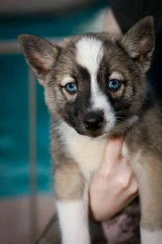 I WANT A POMSKY AND I WANT IT NOWWW!!!