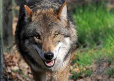 Neuer, bundesweit arbeitender Wolfsschutzverein