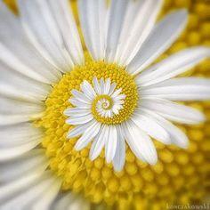 Gira flor .
