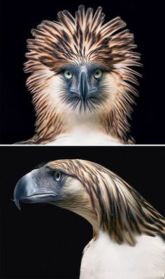 Philippines Eagle - Hewan Terancam Punah Yang Berhasil Diabadikan Oleh Fotografer
