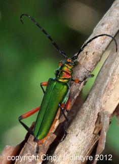 longhorn beetle green - Google Search