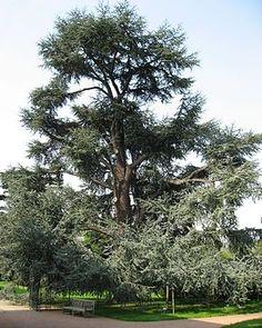 """Blaue Atlas-Zeder (Cedrus atlantica cv. 'Glauca') """"Die #Atlas_Zeder (Cedrus atlantica) ist eine Pflanzenart aus der Gattung der Zedern (Cedrus) in der Familie der Kieferngewächse (Pinaceae). Sie wurde im Jahr 2013 in die Rote Liste gefährdeter Pflanzenarten aufgenommen.[1]"""""""