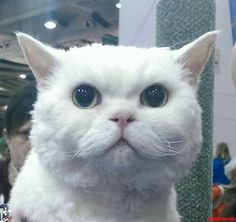 Meet A Selkirk Rex Yesterday Want One Now - http://cutecatshq.com/cats/meet-a-selkirk-rex-yesterday-want-one-now/