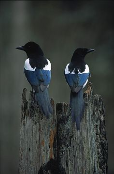 black billed magpies. the myna birds of colorado ;-)