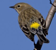 Yellow-rumped Warbler. Have these at my house right now 4/13