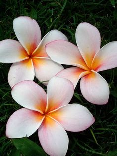 """PLUMERIA meaning: In China- tokens of love, giving a plumeria flower to your sweetheart has the same meaning as saying """"I love you"""" or """"You are special."""" The Chinese consider plumeria even more precious than orchids. Flowers Nature, Exotic Flowers, Tropical Flowers, Beautiful Flowers, Hibiscus, Plumeria Tattoo, Indoor Flowering Plants, Plumeria Flowers, Flower Meanings"""