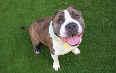 "MS. PIGGY - A1107948 - - Manhattan  TO BE DESTROYED 04/12/17 **ON PUBLIC LIST** A volunteer writes: ""Herrrreee, piggy, piggy…"" Get ready to be saying that a lot, because your life's about to change. You're about to meet a 4 year-old dynamo on four legs. A captivating cutie with drool for days and a smile that doesn't quit. A charismatic queen who demands nothing but the best because, quite simply, deserves nothing less! Yes, you're"