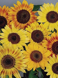 Music Box Mix Sunflower at Cooksgarden.com for $3.95 for 50 seeds.