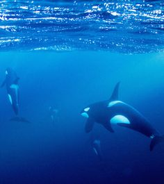 What It's Like to Snorkel With Orcas in Norway