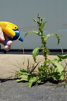 Kill Weeds with vinegar:  Even if you aren't growing fruits, vegetables or herbs to eat, you probably don't want to spray pesticides in your garden. Try full-strength (i.e., non-diluted) vinegar on the weeds: its acidity will kill young, pesty plants (though if the weeds are large and threatening to take over, you may need to just yank them out by the roots).
