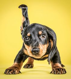 Little Puppies, Cute Puppies, Animals And Pets, Cute Animals, Dog Shaking, Dachshund Puppies, Dachshunds, Doggies, Training Your Puppy
