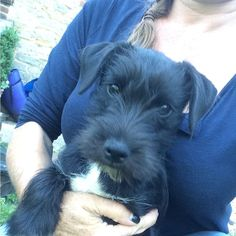 #puppy has come back for his holiday #schnauzerx