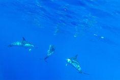 dolphins, mar doudada, porto santo