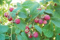 Local raspberry crop tops 75 million pounds — a new record Tropical Gardens, Wakefield, Factors, Harvest, Raspberry, Weather, Crop Tops, Fruit, Plants