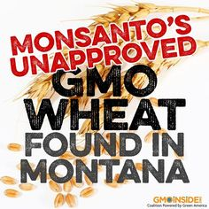 BREAKING NEWS: Unregulated GMO wheat has popped up in a second location in the U.S., this time in Montana, the Agriculture Department said today! More here: http://gmoinside.org/usda-genetically-modified-wheat-found-montana-abc-news #GMOs #food #righttoknow #GMOwheat #stopmonsanto #contamination