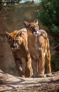 Beautiful mountain lion pair