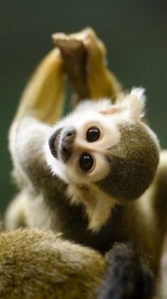 Baby Squirrel Monkey ✿⊱╮