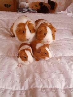 Awesome guinea pig family!!