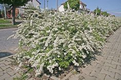 Spiraea is a spring blooming shrub bearing dainty lace-like blooms. It needs full sun to flower and grow regularly. Spiraea is used in the landscape for hedges, shrub border, mass plantings, and as a foundation plant.