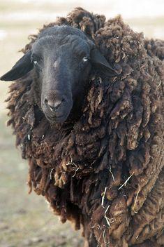 mouton / sheep | Flickr: Intercambio de fotos ...Black sheep, black sheep, have you any?....