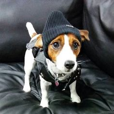 Check the link in @jackrussellmoments profile and choose your Jack Russell or hoodie! International shipping! To be featured⏩Start to follow us⏩Choose your best photo⏩Tag us #jackrussellmoments Reposted from: @mango_gyudon