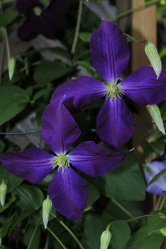 """A couple Clematis """"Etoile violette"""" from last summer!"""
