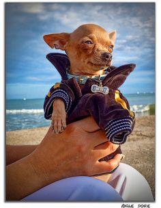 Cute funny Chihuaha by Moyan_Brenn, via Flickr