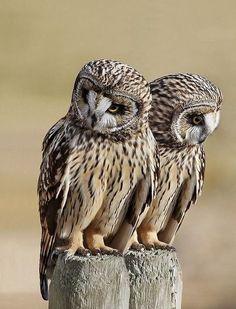 Julio Maiz (@maiz_julio) / Twitter Owl Photos, Owl Pictures, Beautiful Owl, Animals Beautiful, Animals And Pets, Cute Animals, Wild Animals, Nocturnal Birds, Short Eared Owl