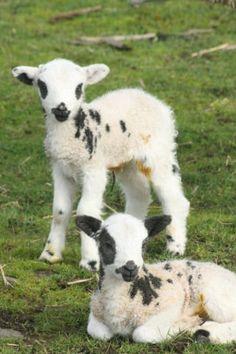 Jacob's Sheep lambs