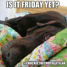 Chuckie the Chocolate Lab Funny Animals, Cute Animals, Animal Funnies, Friday Dog, Emergency Vet, Dog Spay, Save A Dog, Pet Dogs, Pets