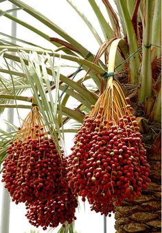 medjool date palm tree- I don't really want a BIG ole palm tree... But I would love dates! Hmmmm...wonder if there is a dwarf that would bear yummy dates?