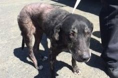 12/29/14 Vallejo CA: Just one example: Lilly was found by Animal Control wondering the streets of Vallejo. The Humane Society of the North Bay saw her beauty and took her in.She does NOT have mange or any other skin disease. Her condition was caused by malnutrition. Her age cannot be determined because she gnaw...