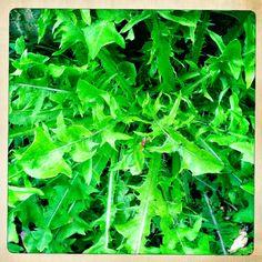 grow: Eat your greens - foraging for dandelion, garlic mustard, comfrey, burdoch, hawthorn