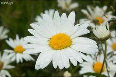 #bloem #bloemen #flower #flowers #wandelen #genieten #fotooftheday #flowersintherain #rain #summertime #yellow #white #margriet #margrieten #marguerite