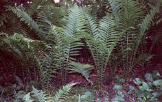 Matteuccia struthiopteris = Ostrich Fern