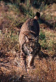 Lionce ibérico / ©: WWF