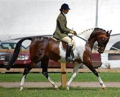 National Show Horse  - USA