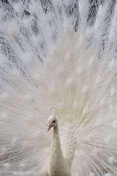 White peacock. They are not considered albino because they are simply just white. They do not possess the albino gene. A white animal and an albino one are completely different things in the genetic makeup.