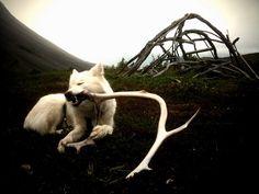 Pinga Husky, Dogs, Photography, Animals, Photograph, Animales, Animaux, Doggies, Photo Shoot