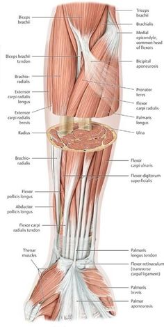 Anatomy of the Upper Limb - Anatomy: An Essential Textbook, ed.Functional Anatomy of the Upper Limb - Anatomy: An Essential Textbook, ed. a view of the most superficial posterior muscles of the body Forearm Muscle Anatomy, Human Muscle Anatomy, Forearm Muscles, Human Anatomy Art, Gross Anatomy, Human Anatomy And Physiology, Anatomy Study, Hand Therapy, Massage Therapy